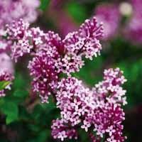 Dwarf Korean Lilac Flower