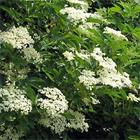 Elderberry - Golden Elder