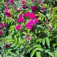 Rose - F. J. Grootendorst - Hybrid Rugosa