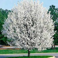 Redspire Pear Trees