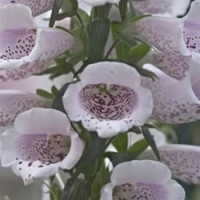 Camelot Lavender Foxglove