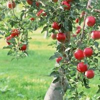Apple Tree - Fuji