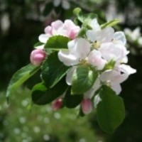 Apple Tree - Gala