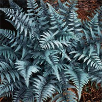 Ghost Ferns | Buy Online at Nature Hills Nursery