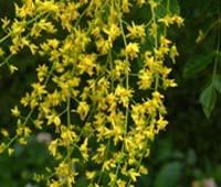 Golden Rain Trees