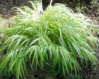 Golden Variegated Hakone Grass