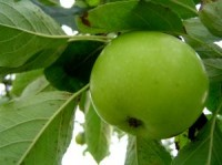 Apple Tree - Granny Smith