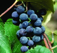 Seedless Concord Grape Vines