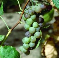 Grape - Himrod