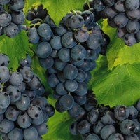 Grape - Concord