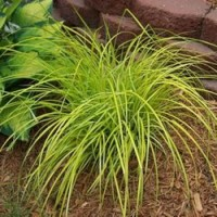 Grass - Bowles Golden Sedge