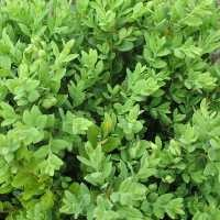 Boxwood - Green Mountain