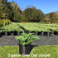 Grey Owl Juniper
