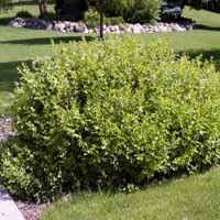 Gro-Low Sumac Leaves