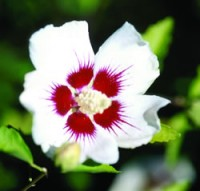 Red Heart Rose of Sharon