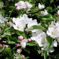 Apple Tree - Honeycrisp