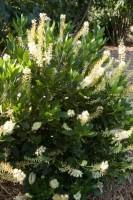 Hummingbird Summersweet