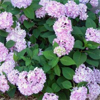 Hydrangea - All Summer Beauty