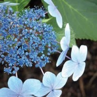 Hydrangea - Blue Bird