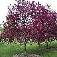 Canada Red Select Cherry - Tree Form