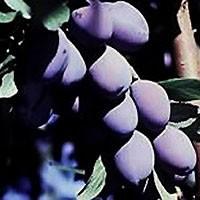 Plum Tree - Italian