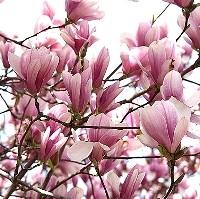 Magnolia - Jane