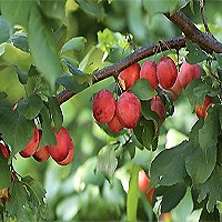 Native American Plum