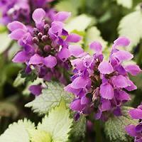 Blue and Purple Flowering Perennials