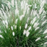 Grass - Little Bunny Fountain Grass