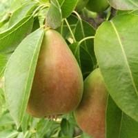 Luscious Pear