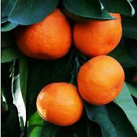 Mandarin - Owari Satsuma