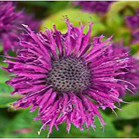 Bee Balm - Purple Rooster