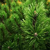 Mugho Pine