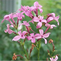 Lilac - Josee