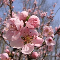 Nectarine Tree - Flavortop