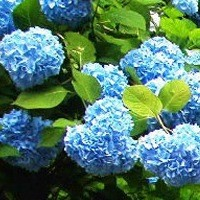 Hydrangea - Nikko Blue