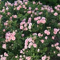 Oso Easy(TM) Rose - Happy Petit Pink