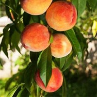 Peach Tree - Elberta