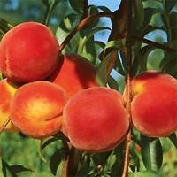Peach Tree - Loring
