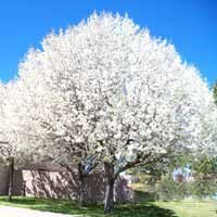 Aristocrat Flowering Pear