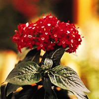 Penta - Butterfly Red