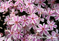 Phlox - Candy Stripe