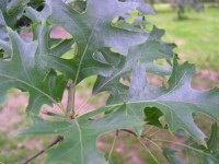 Pin Oak Trees