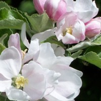 Apple Tree - Pink Lady® (Cripps Pink Variety)