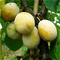 Plum Tree - Yellow Egg