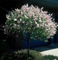 Double Flowering Plum Tree
