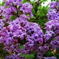 Lilac - Common Purple