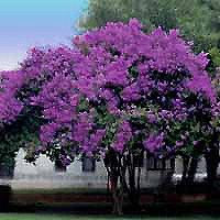 Crape Myrtle - Purple