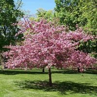 Purpleleaf Sand Cherry - Tree Form