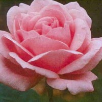 Grow roses - Rose - Queen Elizabeth - Grandiflora Rose